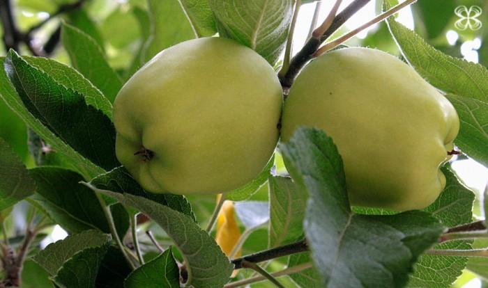 green-aples-san-francisco-california-(leticia-massula-para-cozinha-da-matilde)