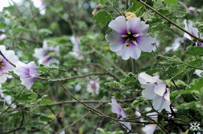 purple-hibiscus-san-francisco-california-hibisco-lilas-(leticia-massula-para-cozinha-da-matilde)