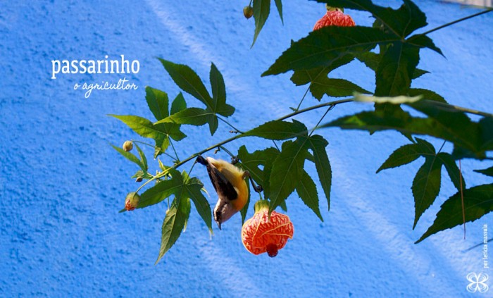 2-capsicum-pimentas-passarinho-agricultor-(leticia-massula-para-cozinha-da-matilde)