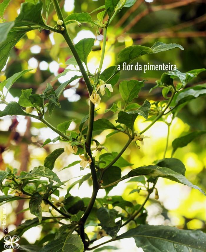 flor-de-pimenta-(leticia-massula-para-cozinha-da-matilde)