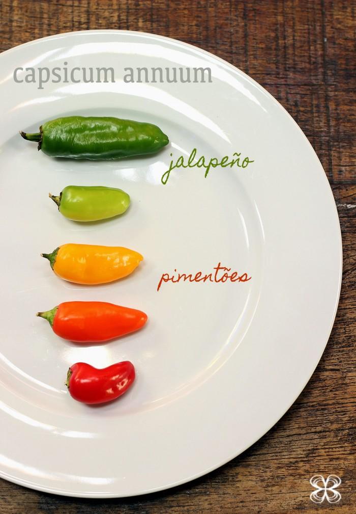 capsicum-annuum-pimenta-jalapeno-e-pimentoes-(leticia-massula-para-cozinha-da-matilde)