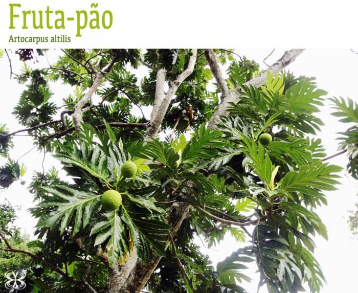 planta-da-fruta-pao-artocarpus-altilis-(leticia-massula-para-cozinha-da-matilde)